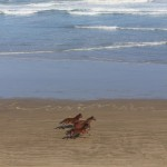 wild horses on 90 mile beach